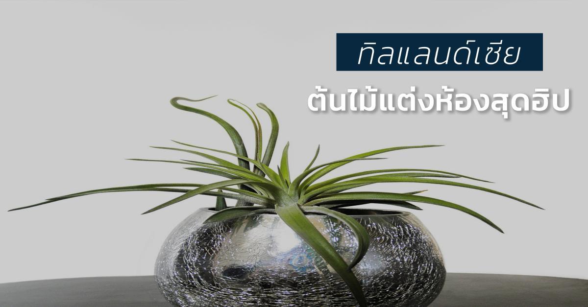 รูปบทความ ทิลแลนด์เซีย (Tillandsia) ต้นไม้แต่งคอนโดทางเลือกใหม่ ฮิปส์กว่า Cactus