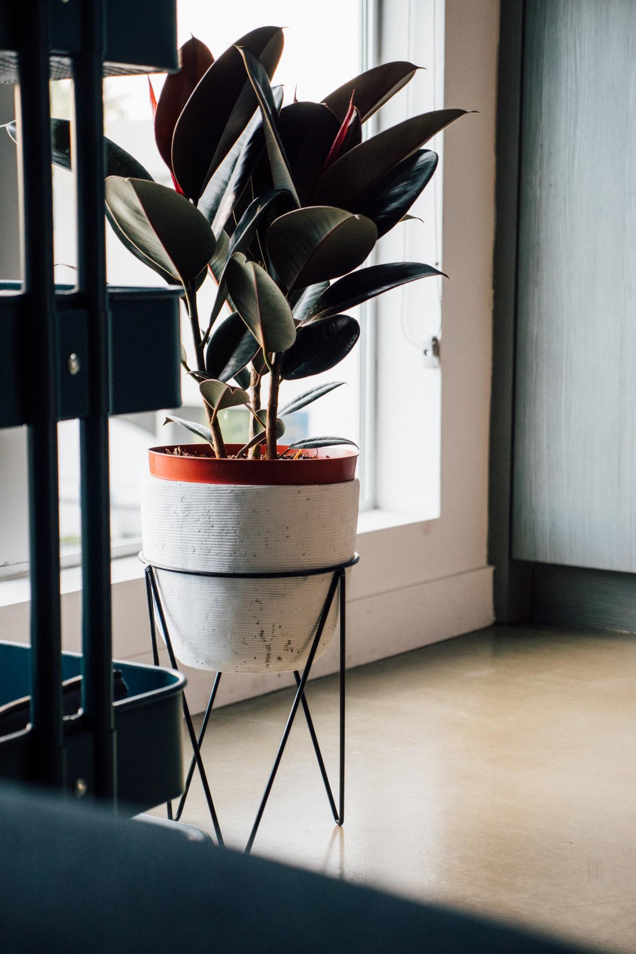 ต้นไม้ฟอกอากาศในห้องนอน ยางอินเดีย Rubber Plant
